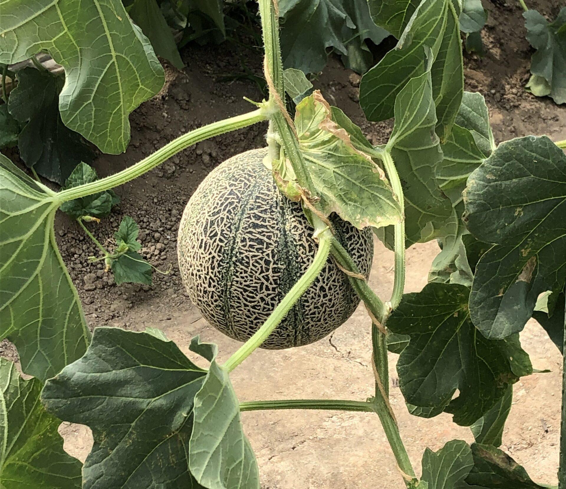 アムスメロン 〜真庭農園さん〜 アムスメロンの収穫は6月いっぱいで終了しましたの写真