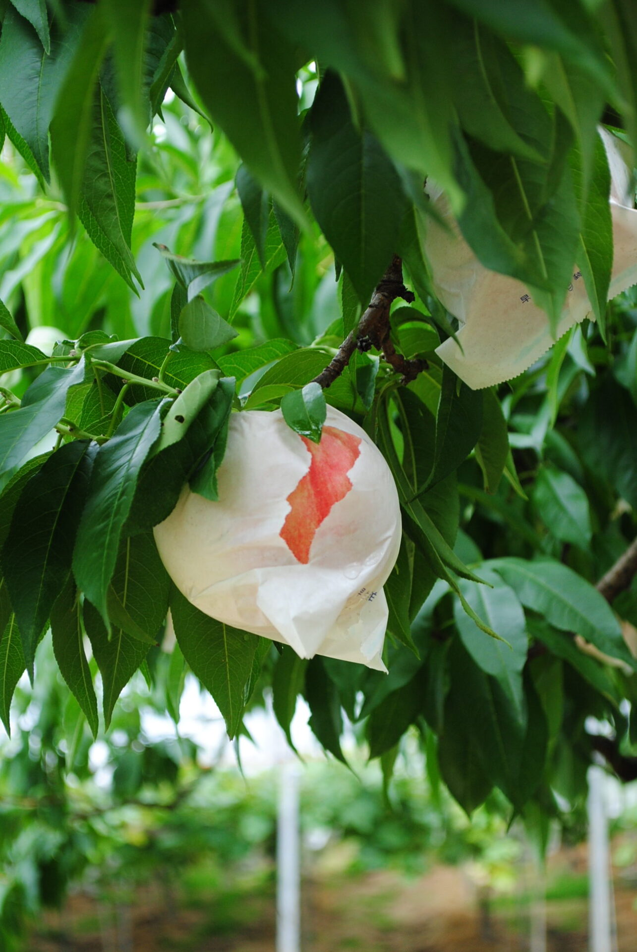 桃〜山崎果樹園〜 7月中旬から8月上旬まで